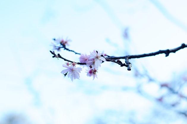 Cherry blossom in Shinjyuku Gyoen1