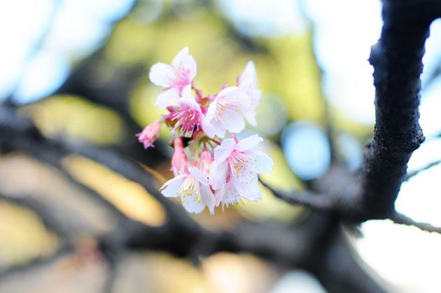 Cherry blossom in Shinjyuku Gyoen2