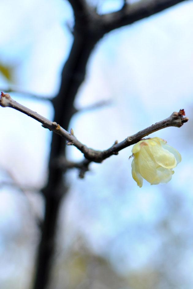 Cherry blossom in Shinjyuku Gyoen4